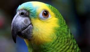 Blue-fronted_Amazon_Amazona_aestiva-head-8
